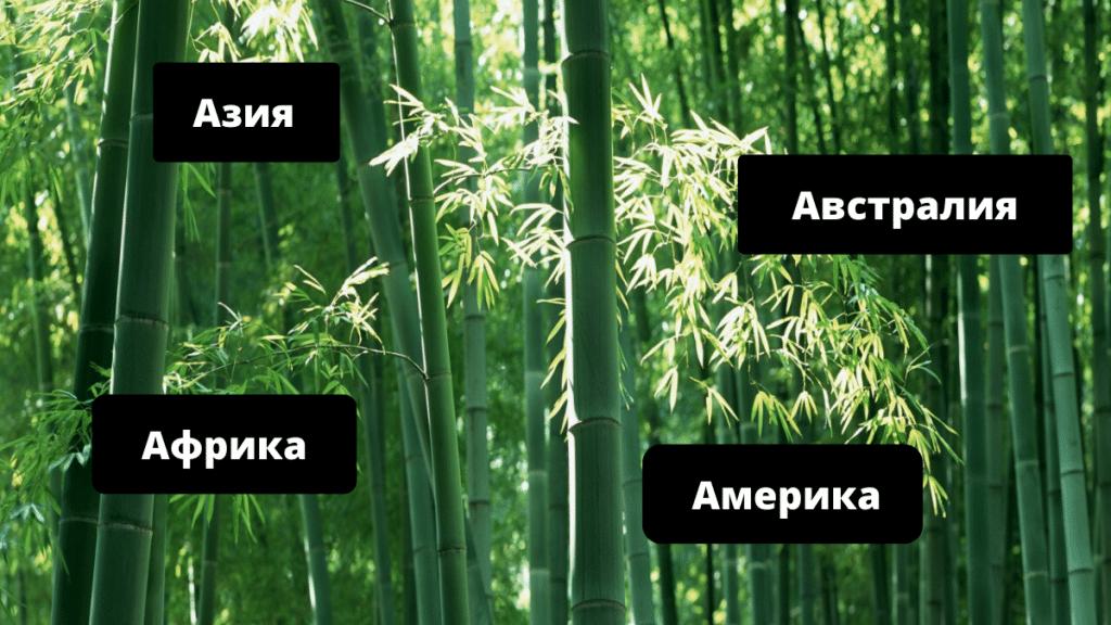 где произрастает бамбук